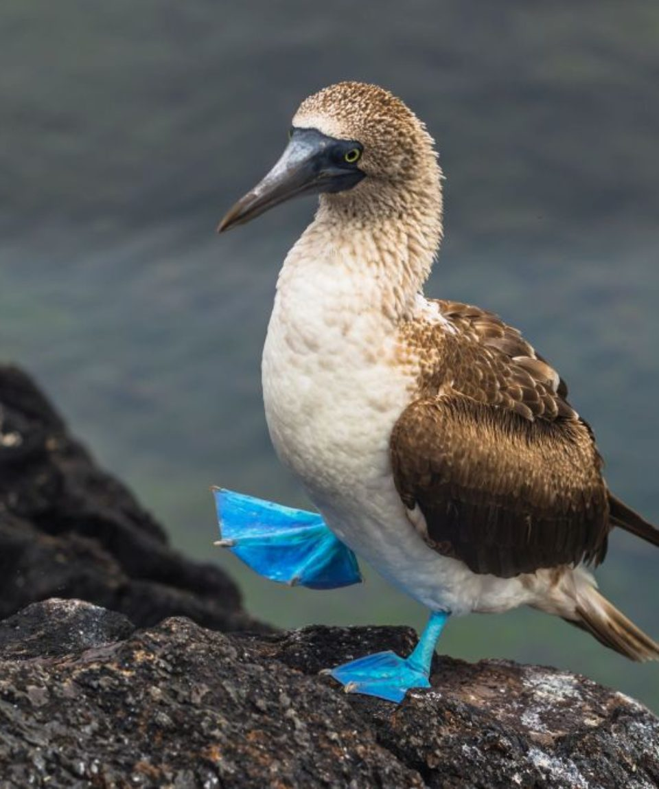 Galapagos Islands - August 26, 2017: Blue-footed Boobies at the lava tunnels of Isabela Island, Galapagos Islands, Ecuador
